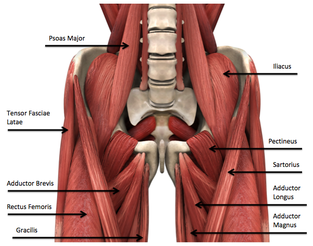 understanding the psoas oregon exercise therapy